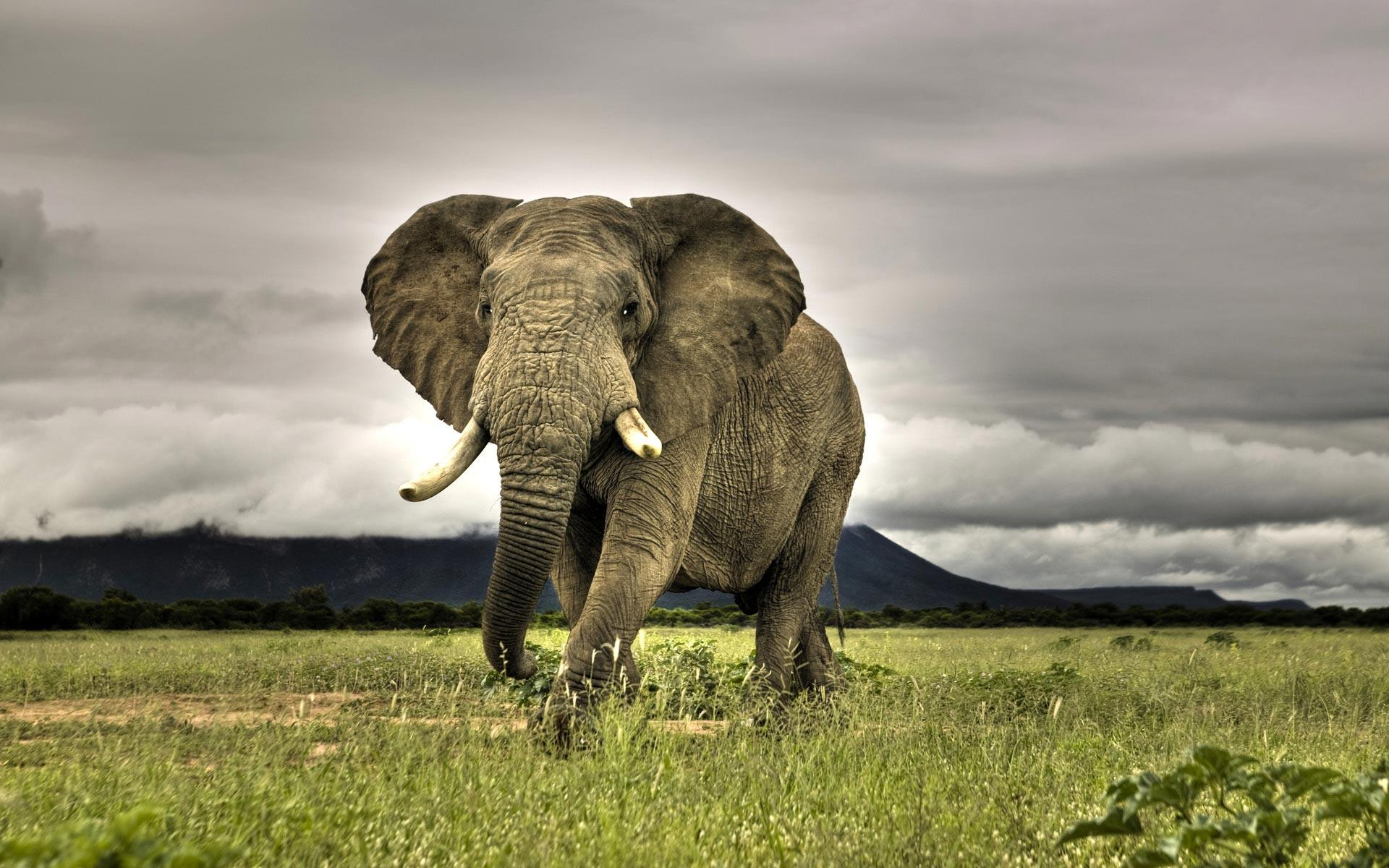 African Elephant Wallpaper and background Animals Town