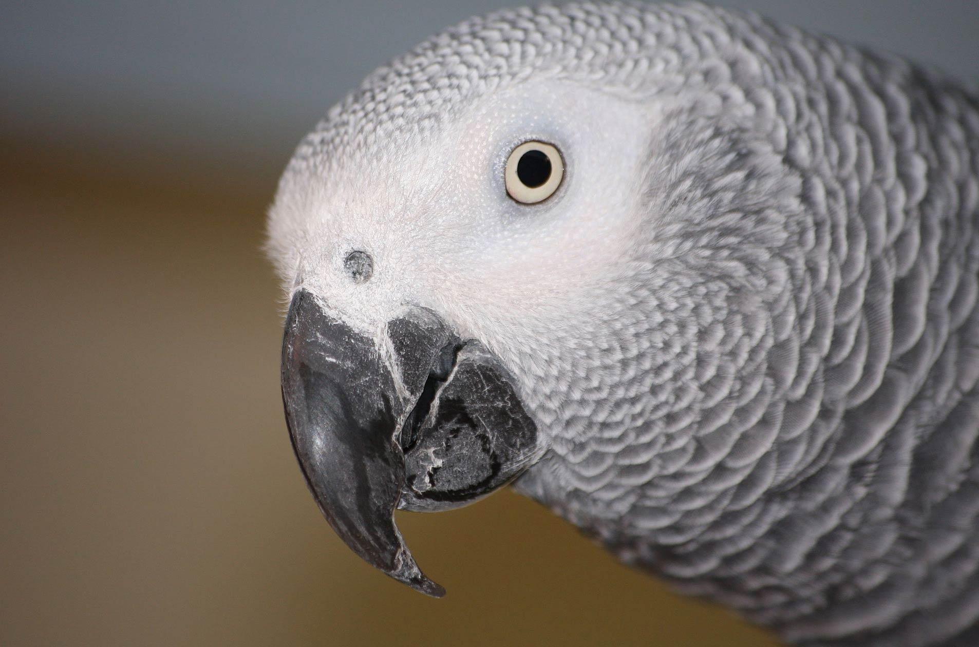 African Grey Parrot Wallpaper Animals Town