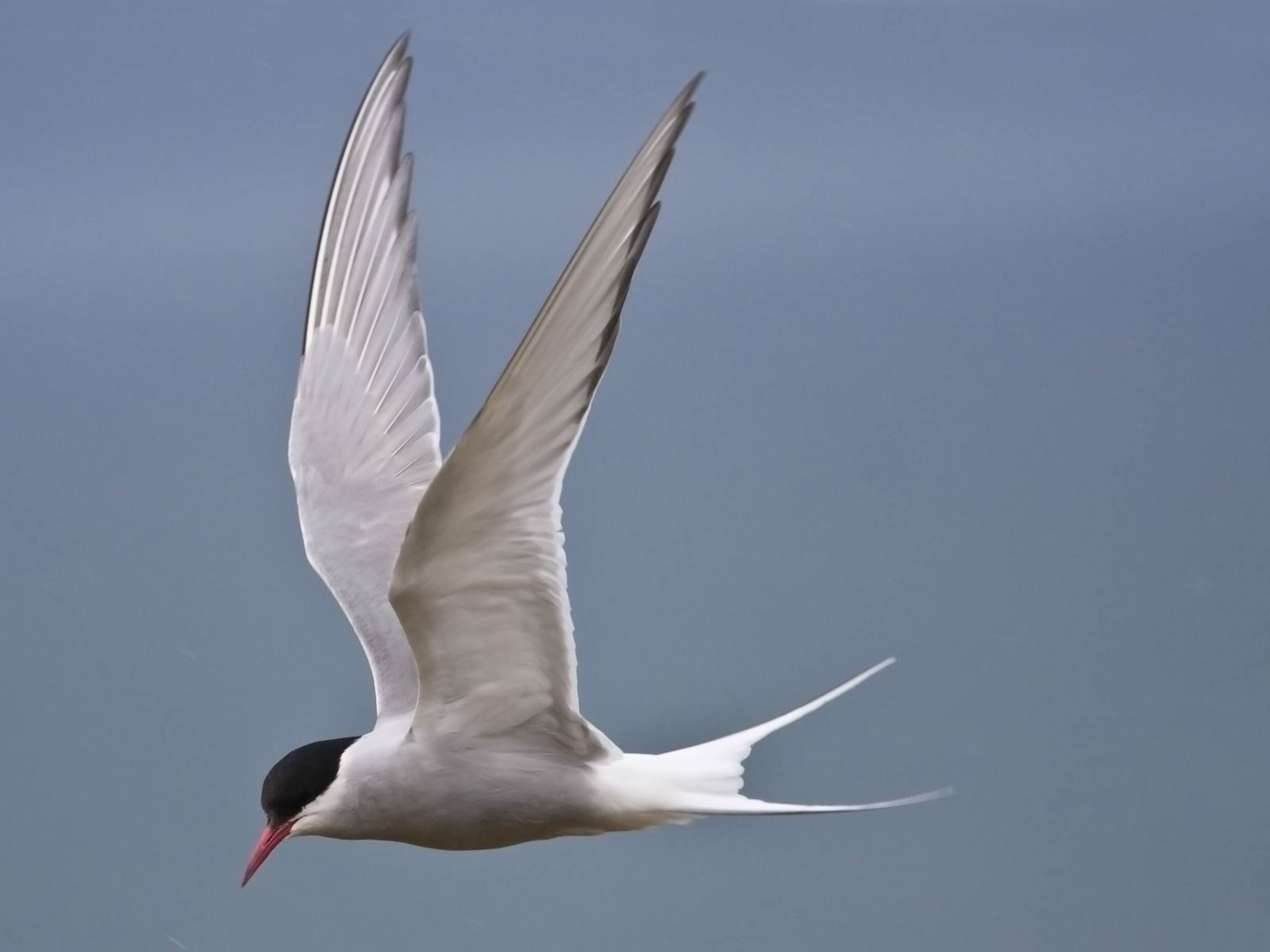 Arctic Tern Animals Town