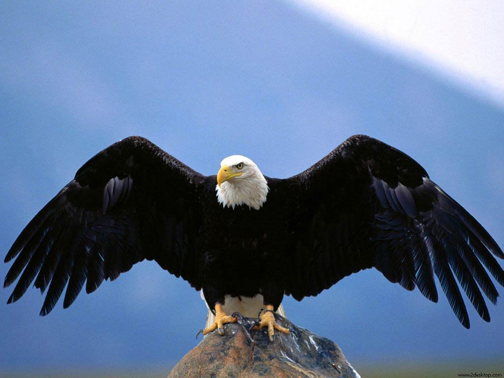 bald eagle wallpaper - animals town