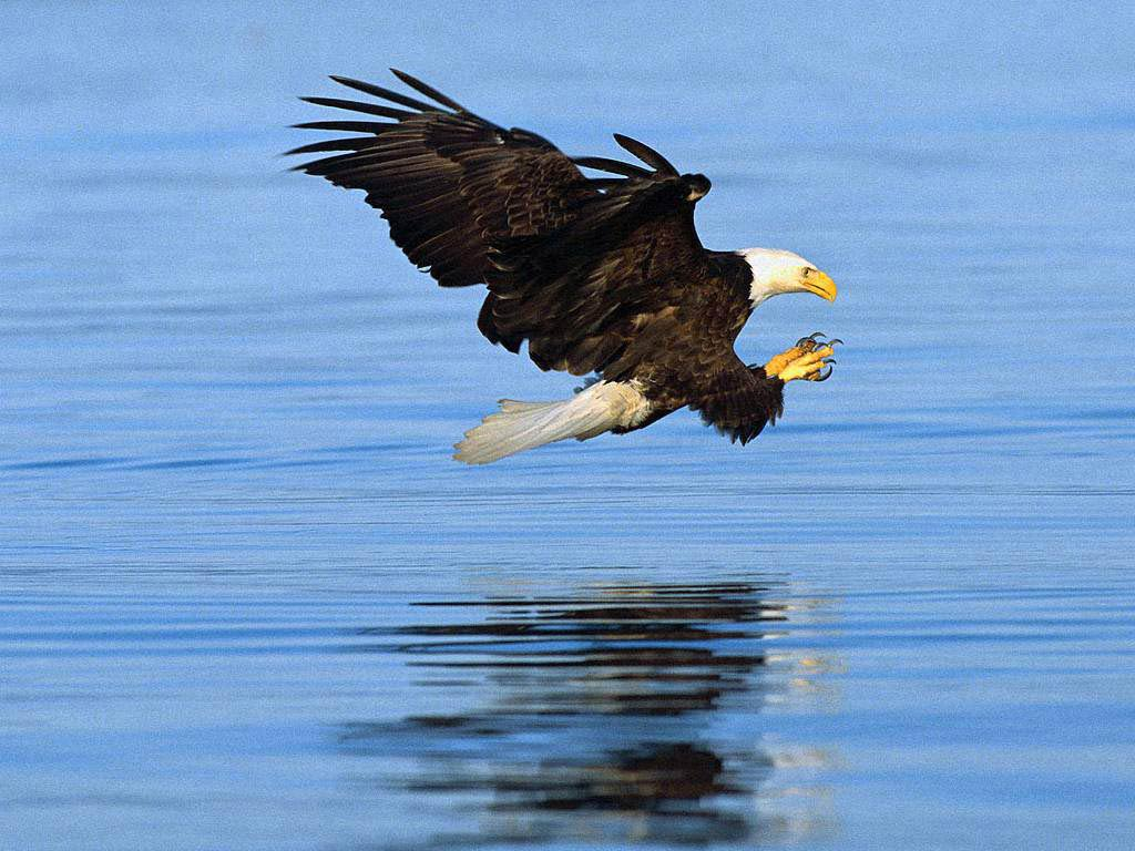 bald eagle wallpapers - animals town