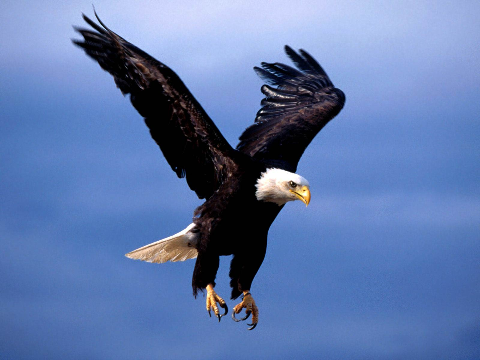 bald eagle wallpaper and background - animals town