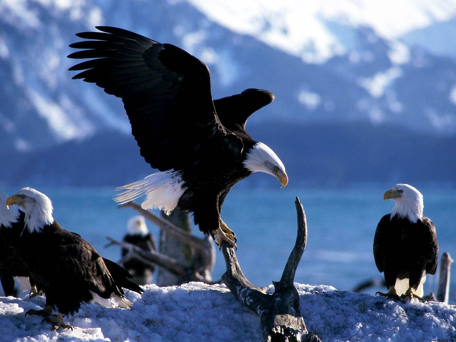 Free Bald Eagle Wallpaper Animals Town