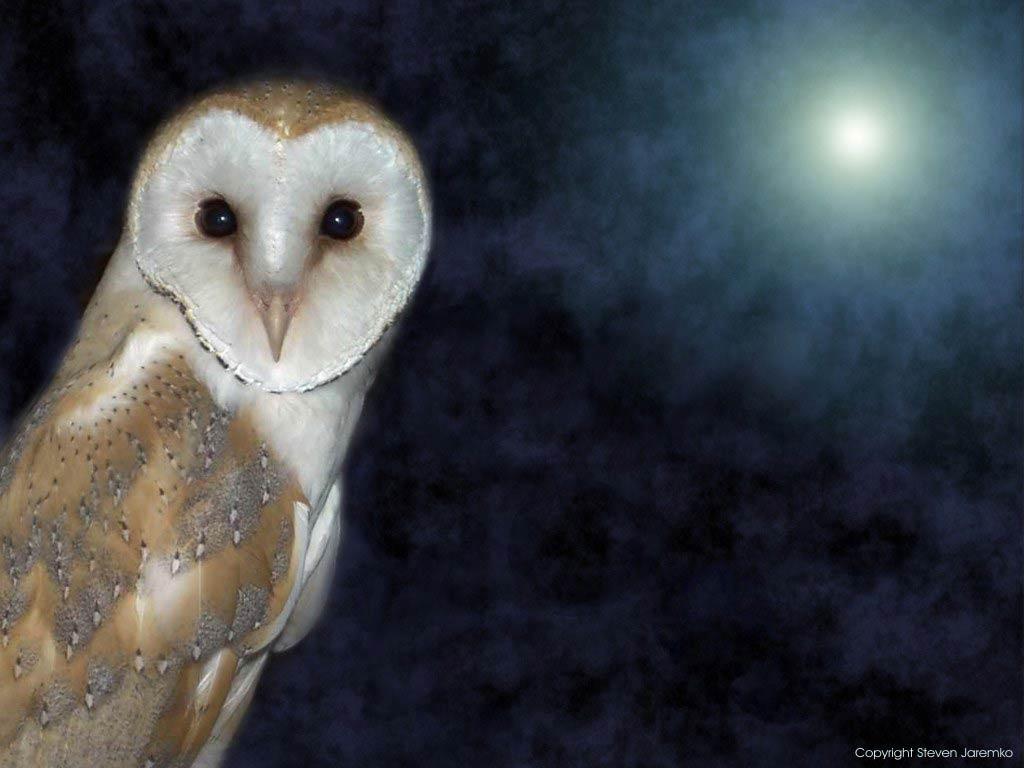 free barn owl wallpaper download animals town