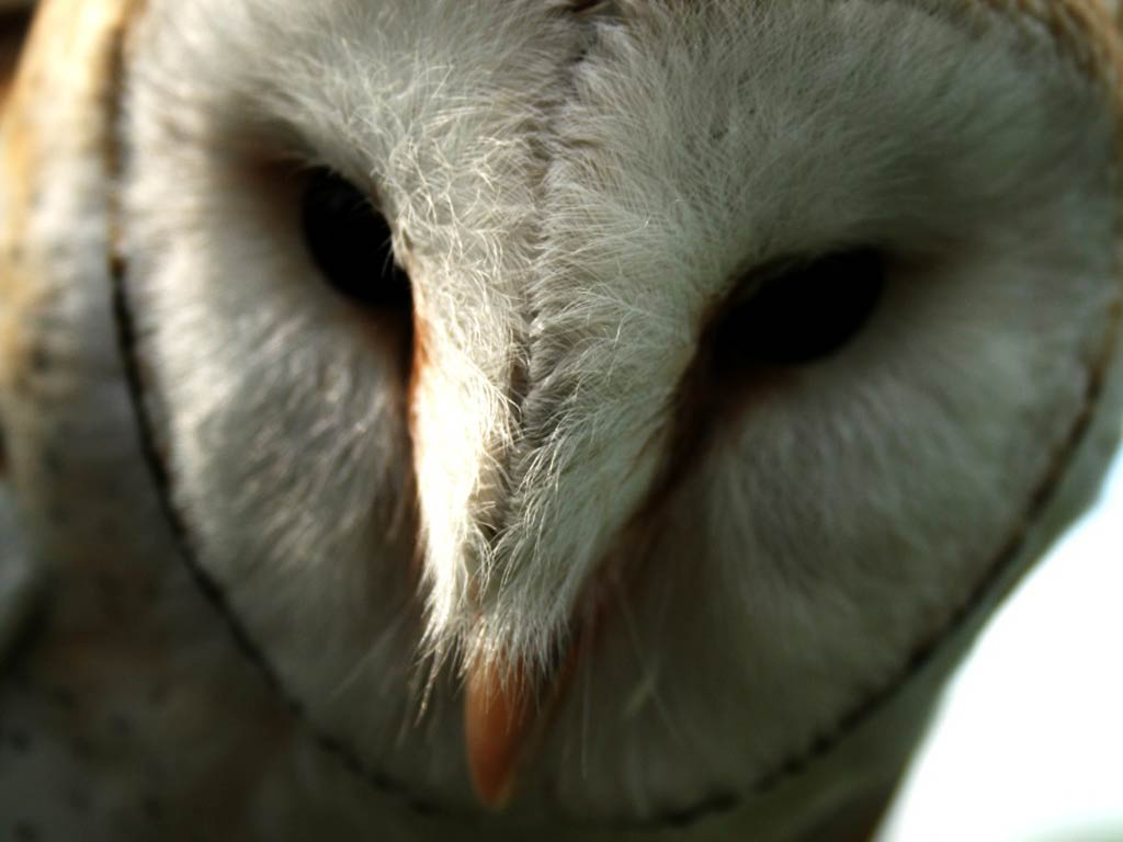 Barn Owl Wallpaper and background