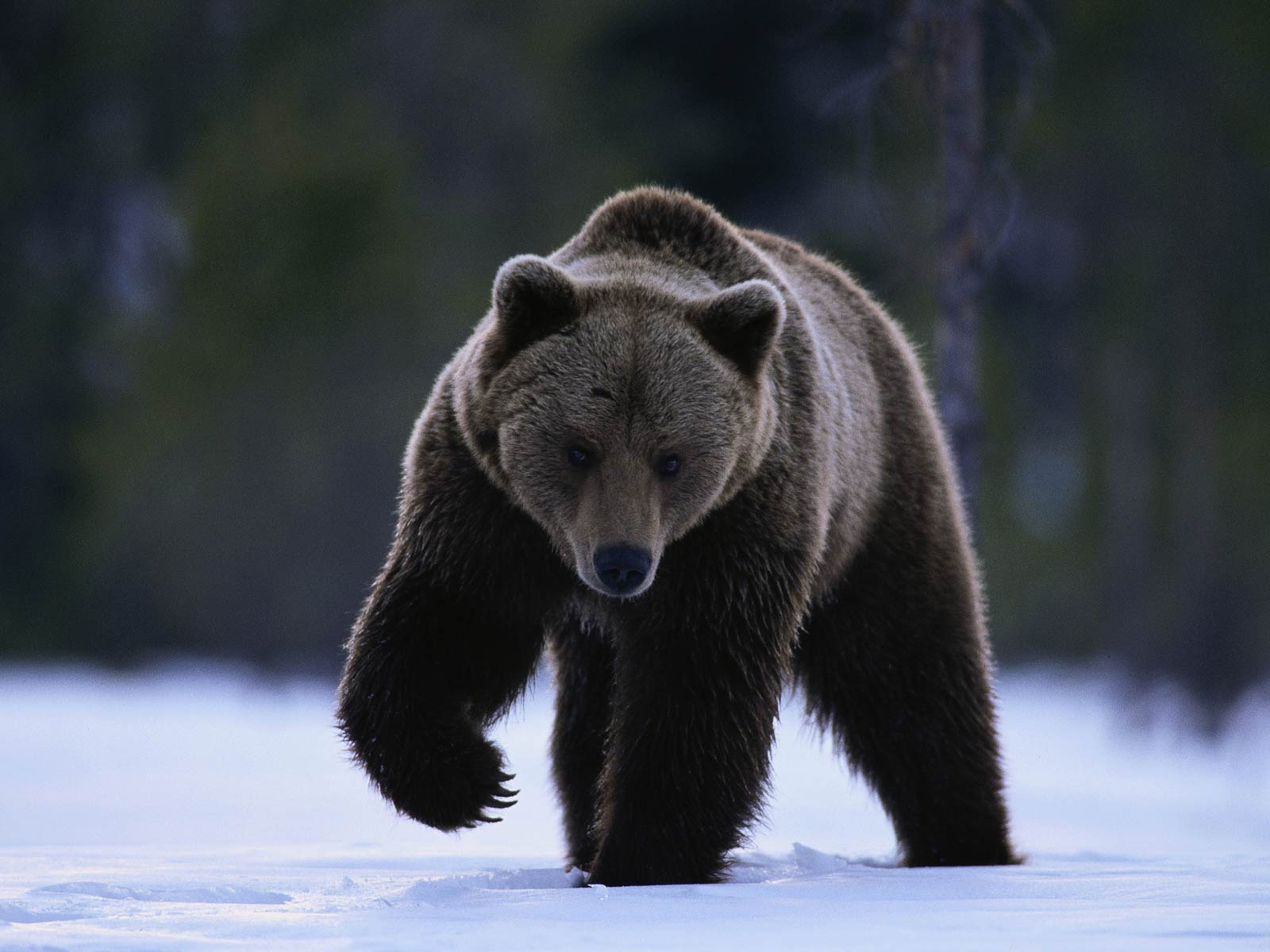 Bear Wallpaper And Background Animals Town