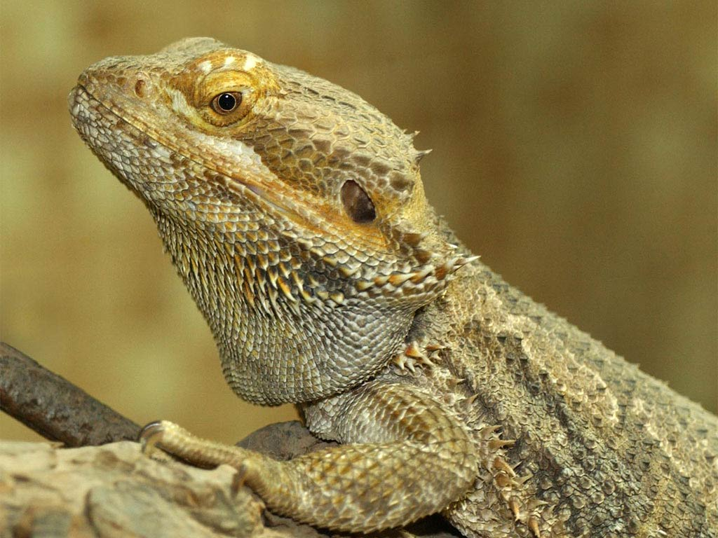 Bearded dragon wallpapers animals town free bearded dragon wallpaper wallpapers download voltagebd Choice Image