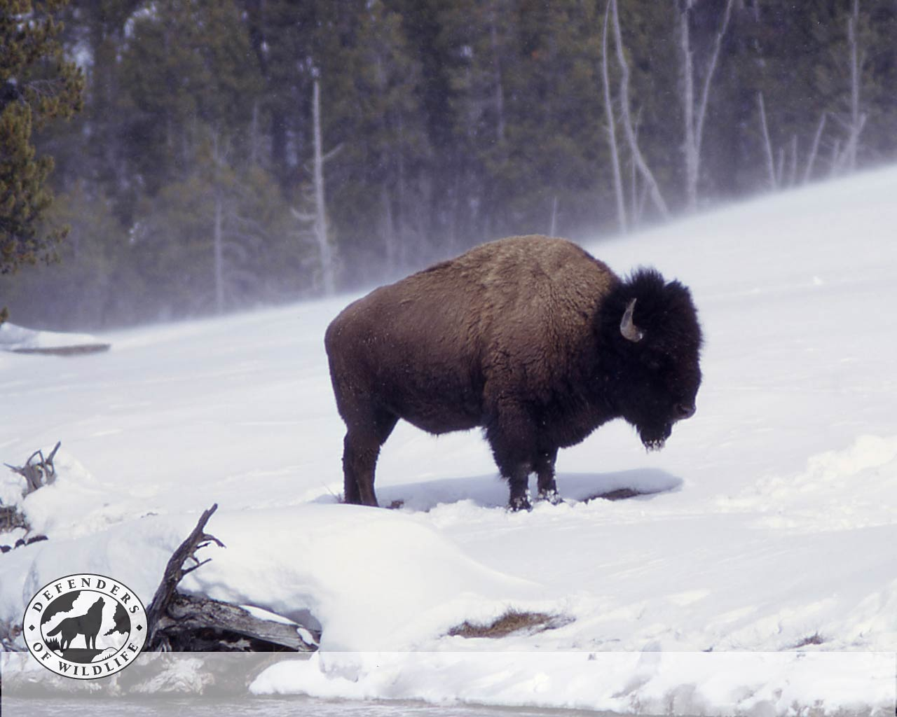 Bison Wallpaper And Background Animals Town