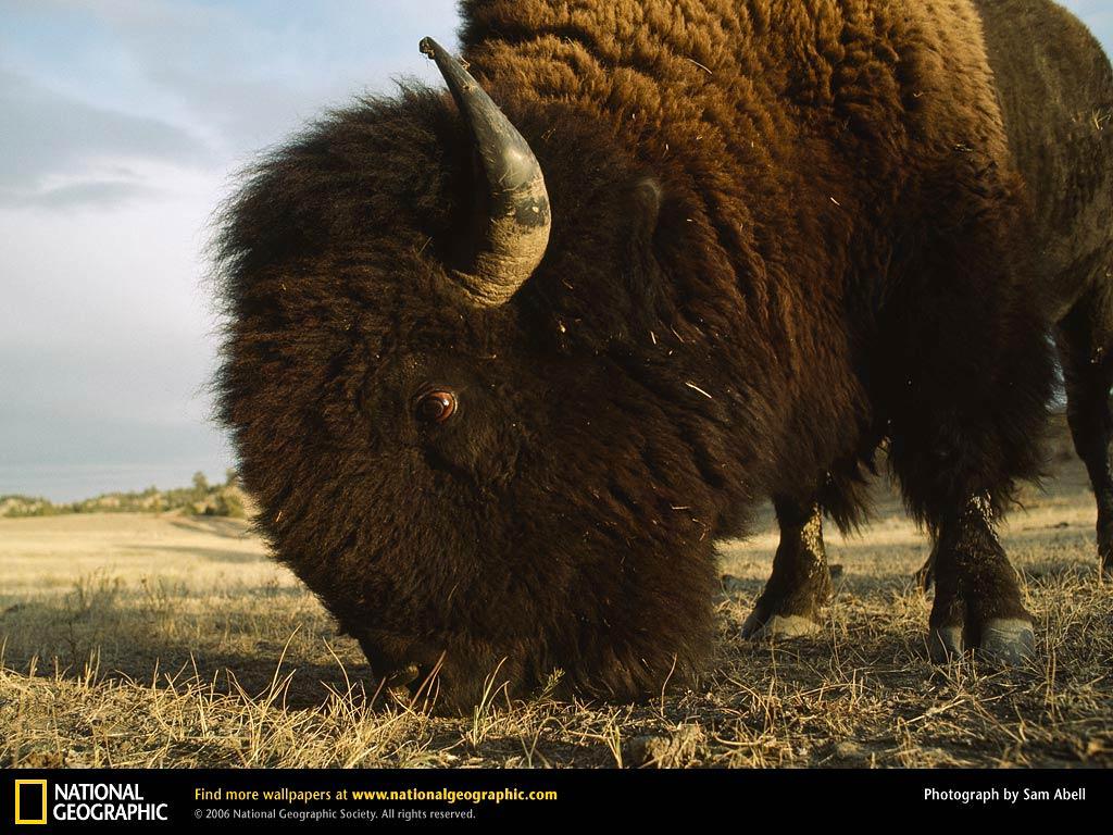 Good Bison Wallpaper - bison-wallpaper-5  Photograph_633556.jpg