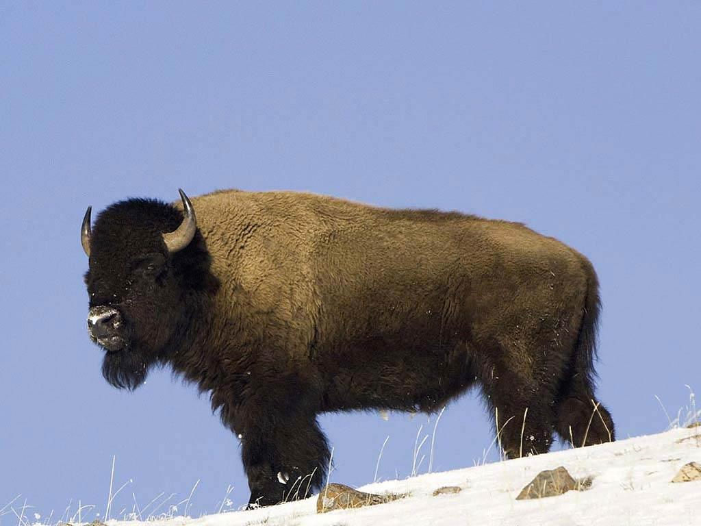 Beautiful Bison Wallpaper - bison-wallpaper-6  Image_932135.jpg