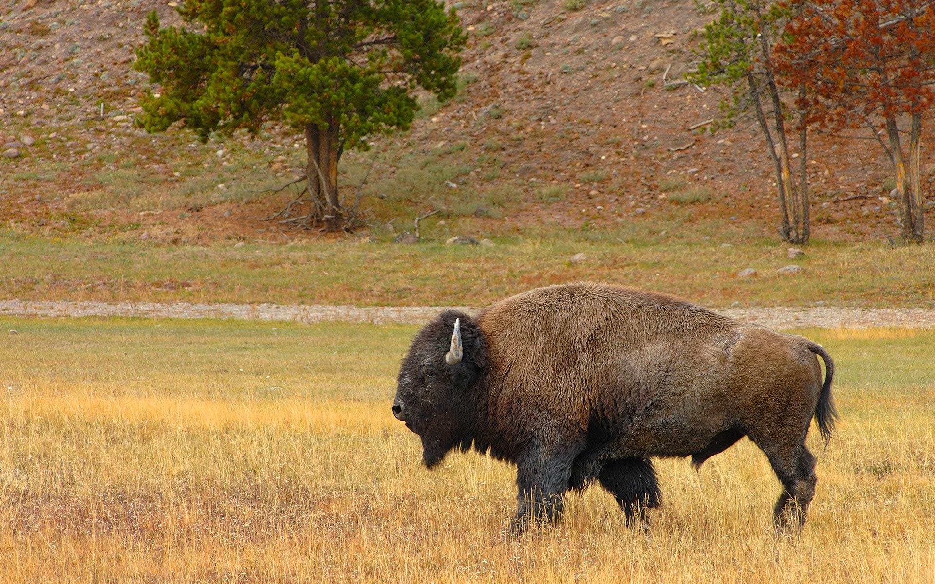 Wonderful Bison Wallpaper - bison-wallpaper-7  Photograph_312211.jpg