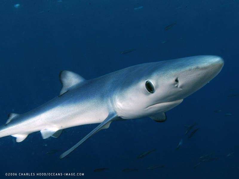 Blue Shark Wallpaper and background Animals Town