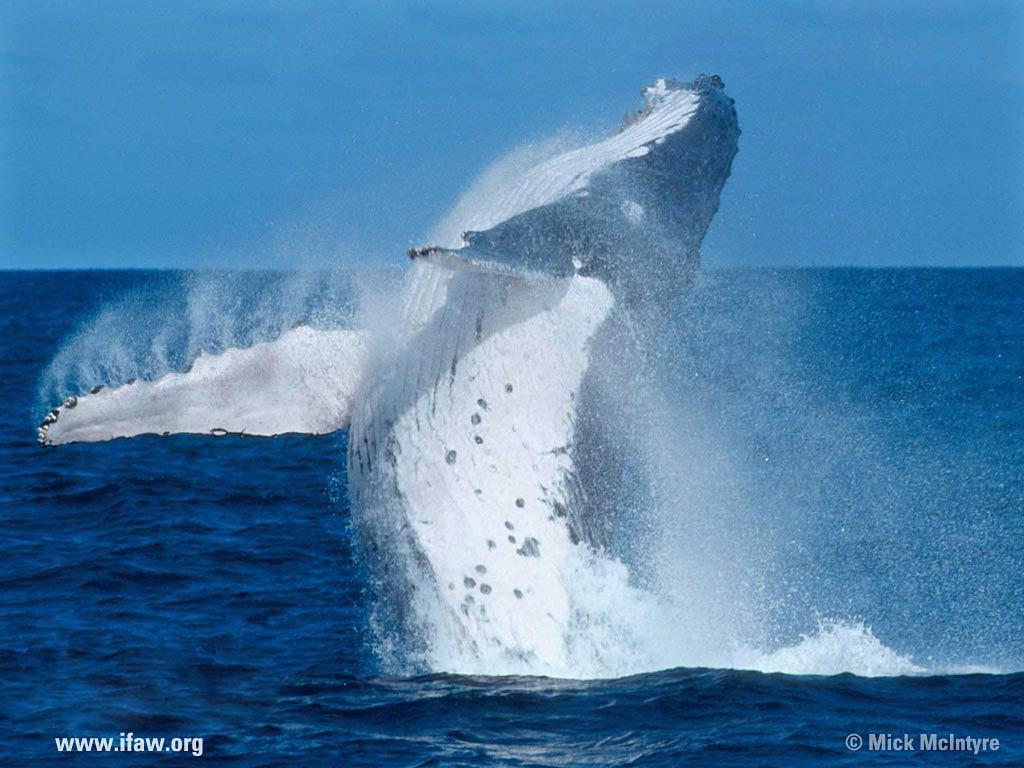 Blue Whale Wallpaper Animals Town