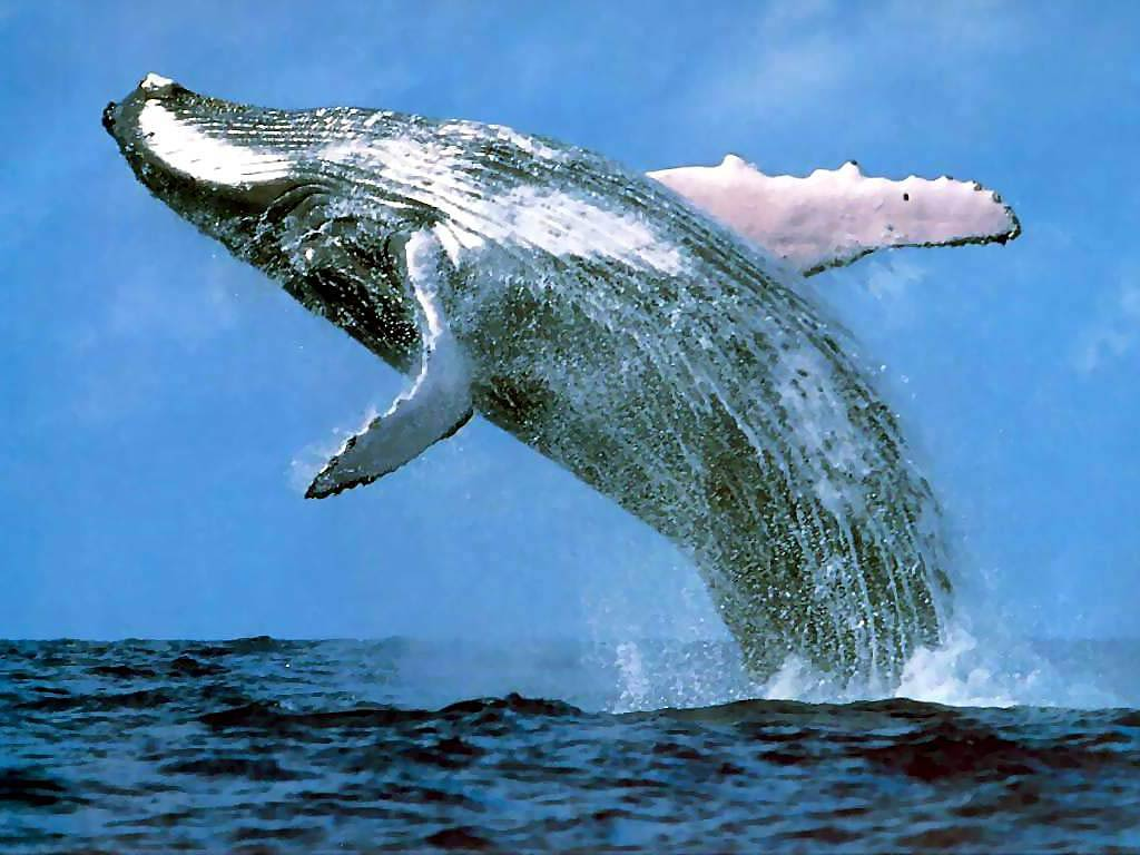 Blue Whale Wallpapers - Animals Town