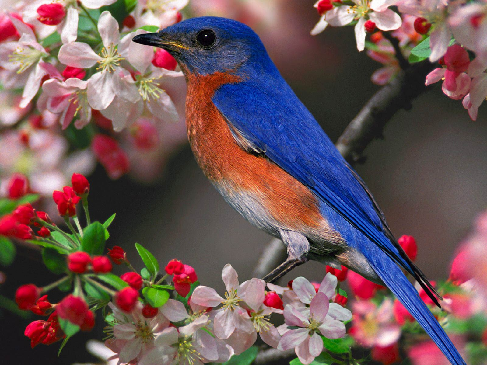 Bluebird Wallpaper And Background Animals Town