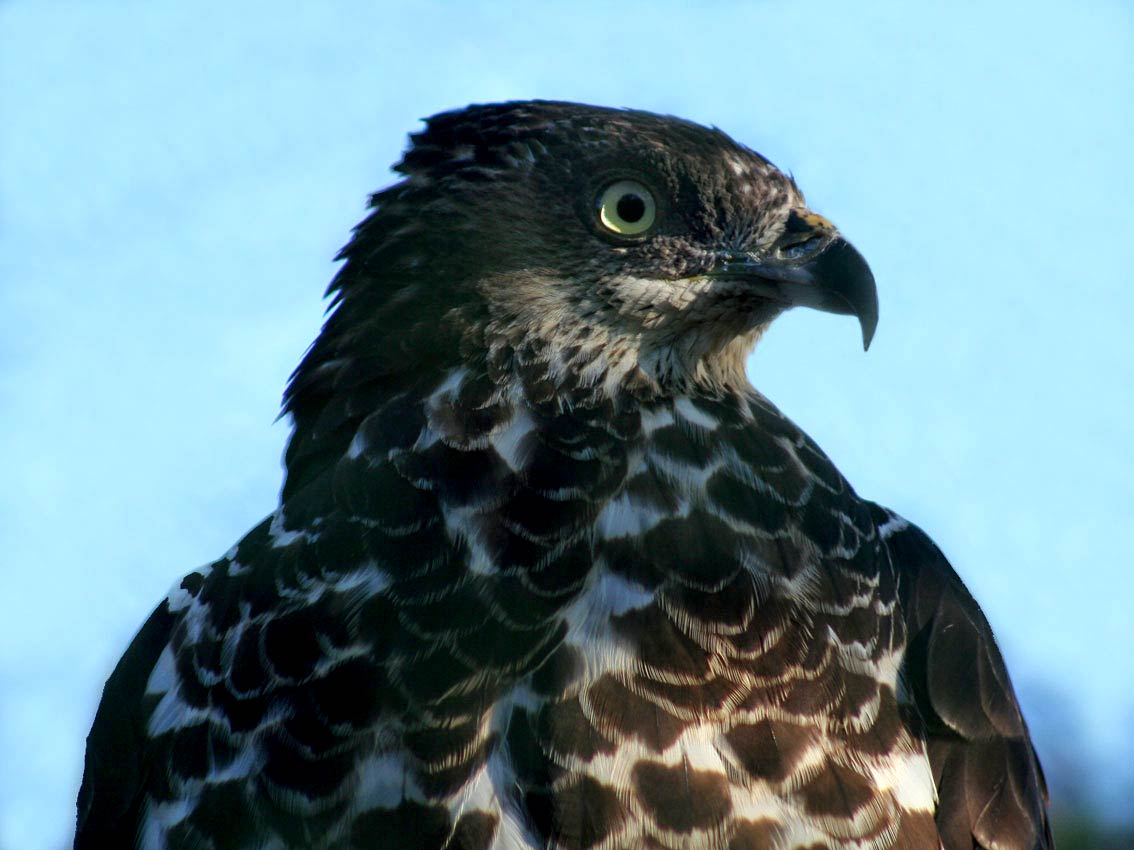 Buzzard Wallpaper And Background Animals Town
