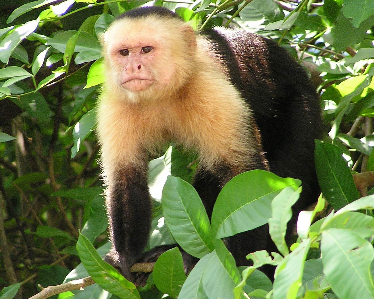 Monkey Wallpaper capuchin monkey wallpaper - animals town