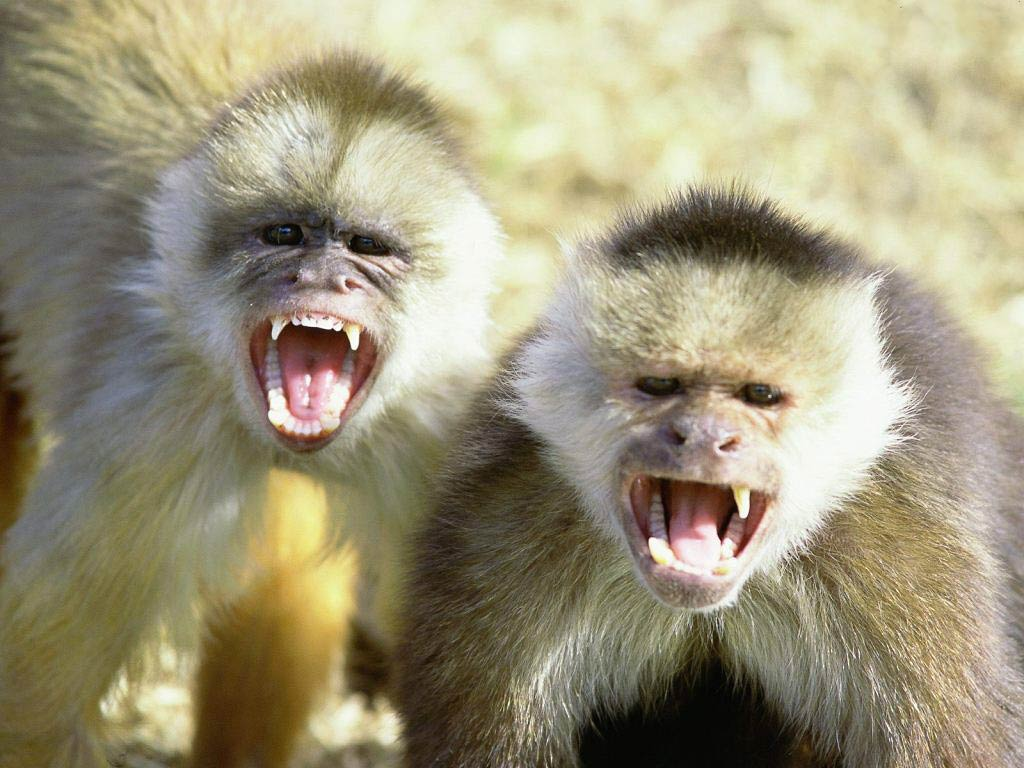 Monkey Wallpaper capuchin monkey wallpaper and background - animals town