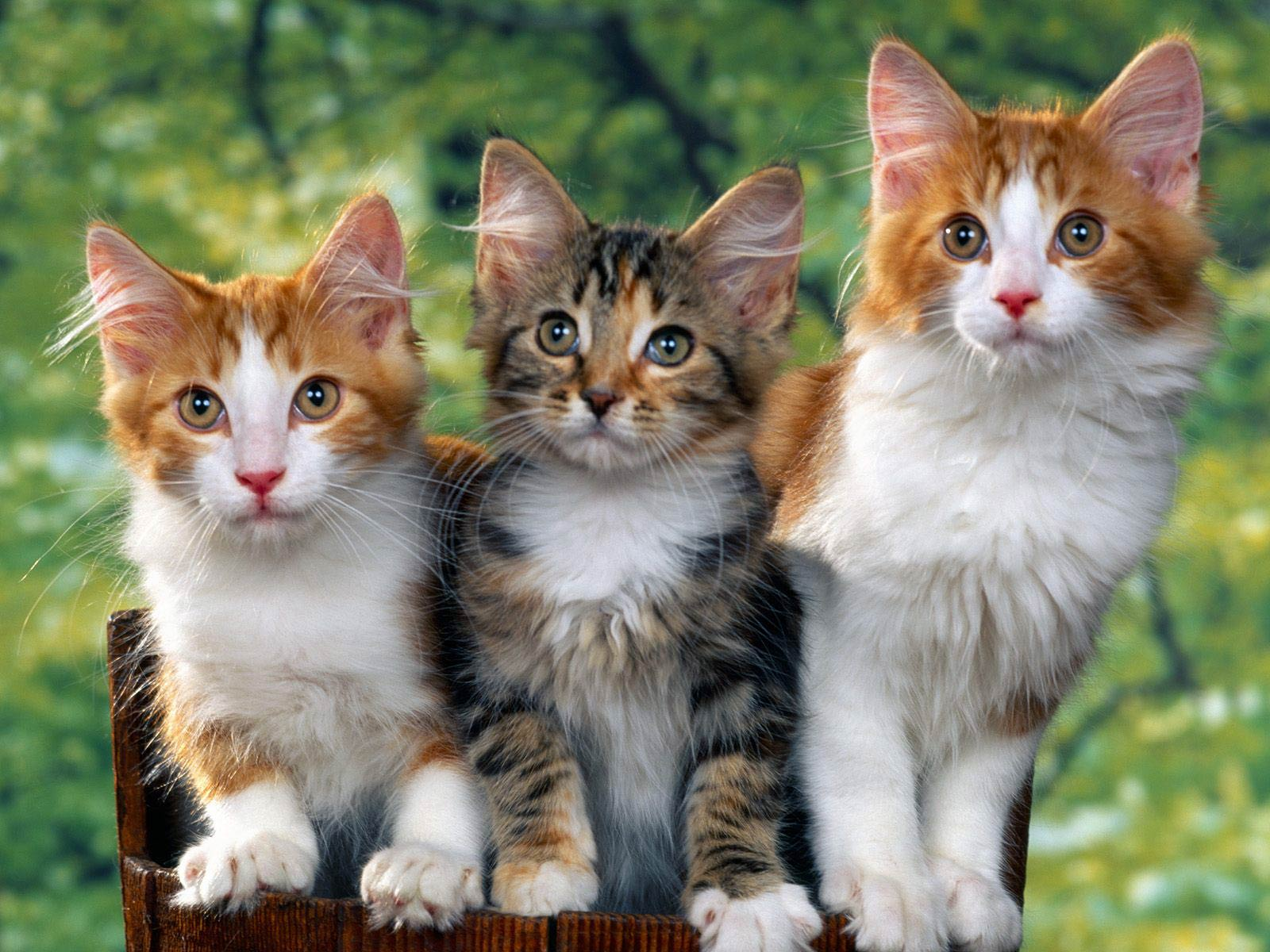 Cat Wallpaper Animals Town