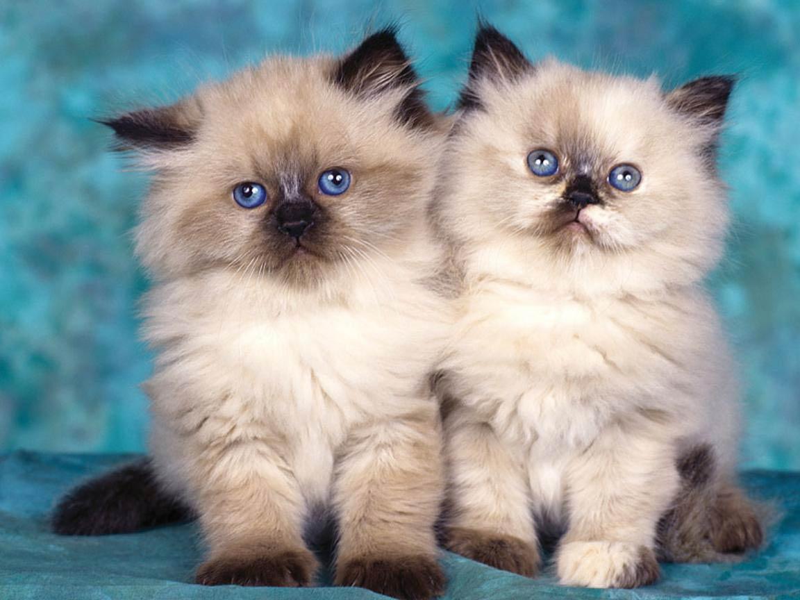 Free Cats Wallpaper Wallpaper Animals Town