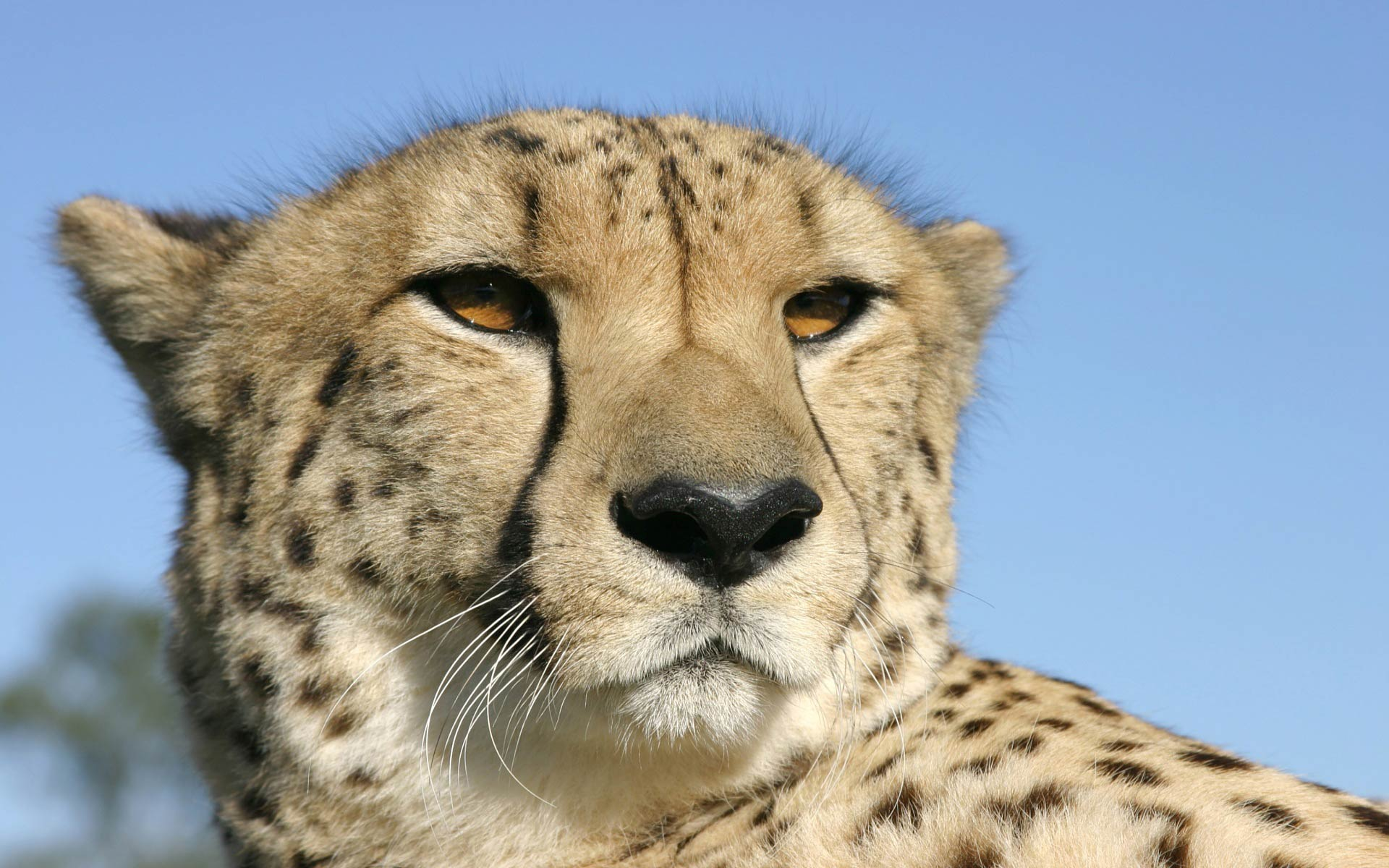 Free Cheetah Wallpaper download