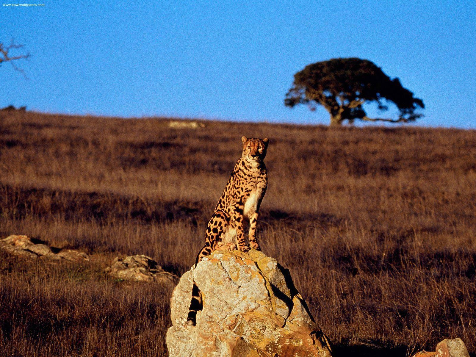 Free Cheetah Wallpaper Animals Town