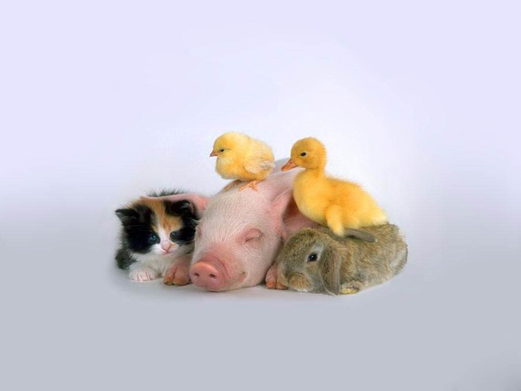 Chicken Wallpaper Animals Town
