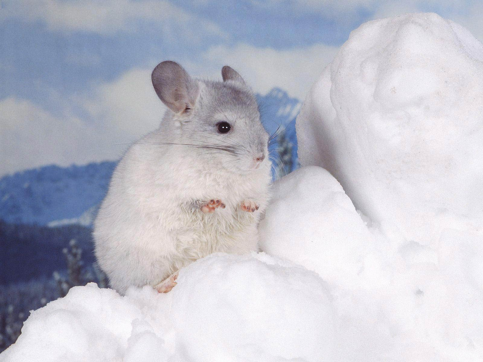 Chinchilla Wallpapers Animals Town