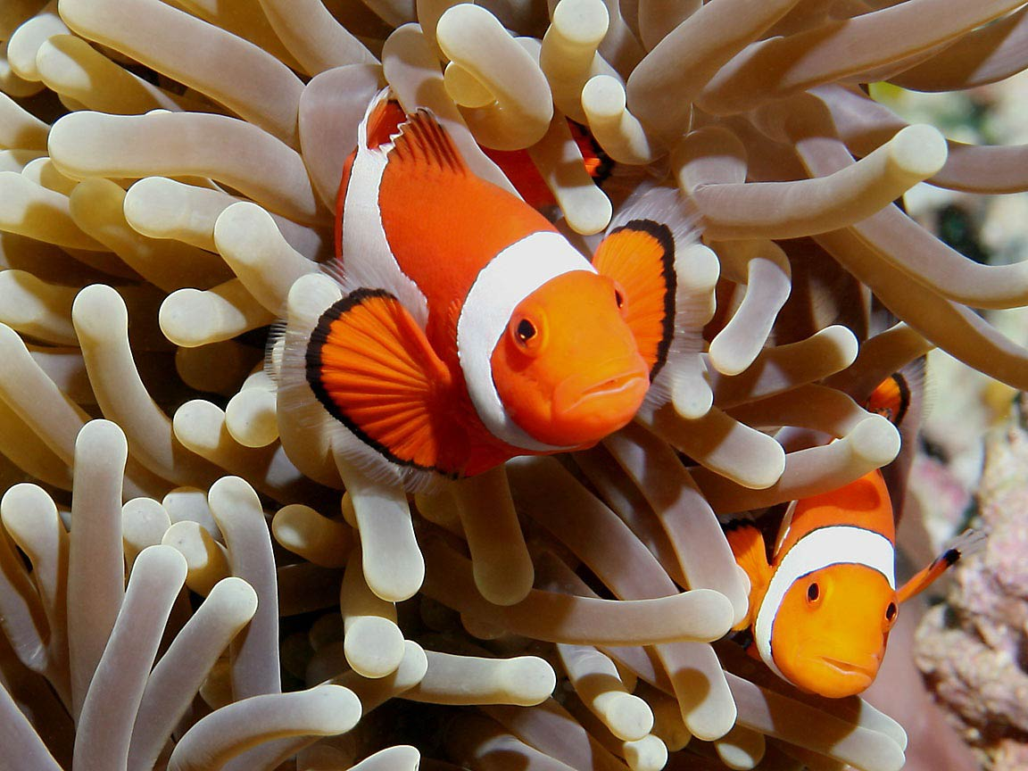 Clownfish Wallpapers Animals Town