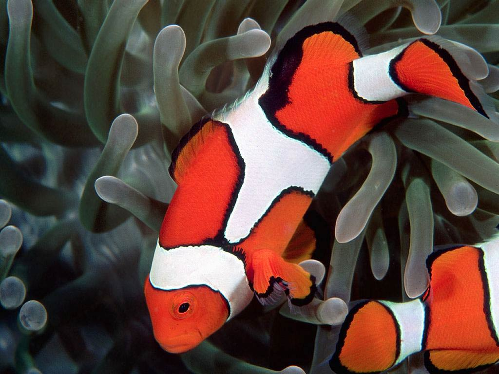Clownfish Desktop and Mobile Wallpaper - Animals Town