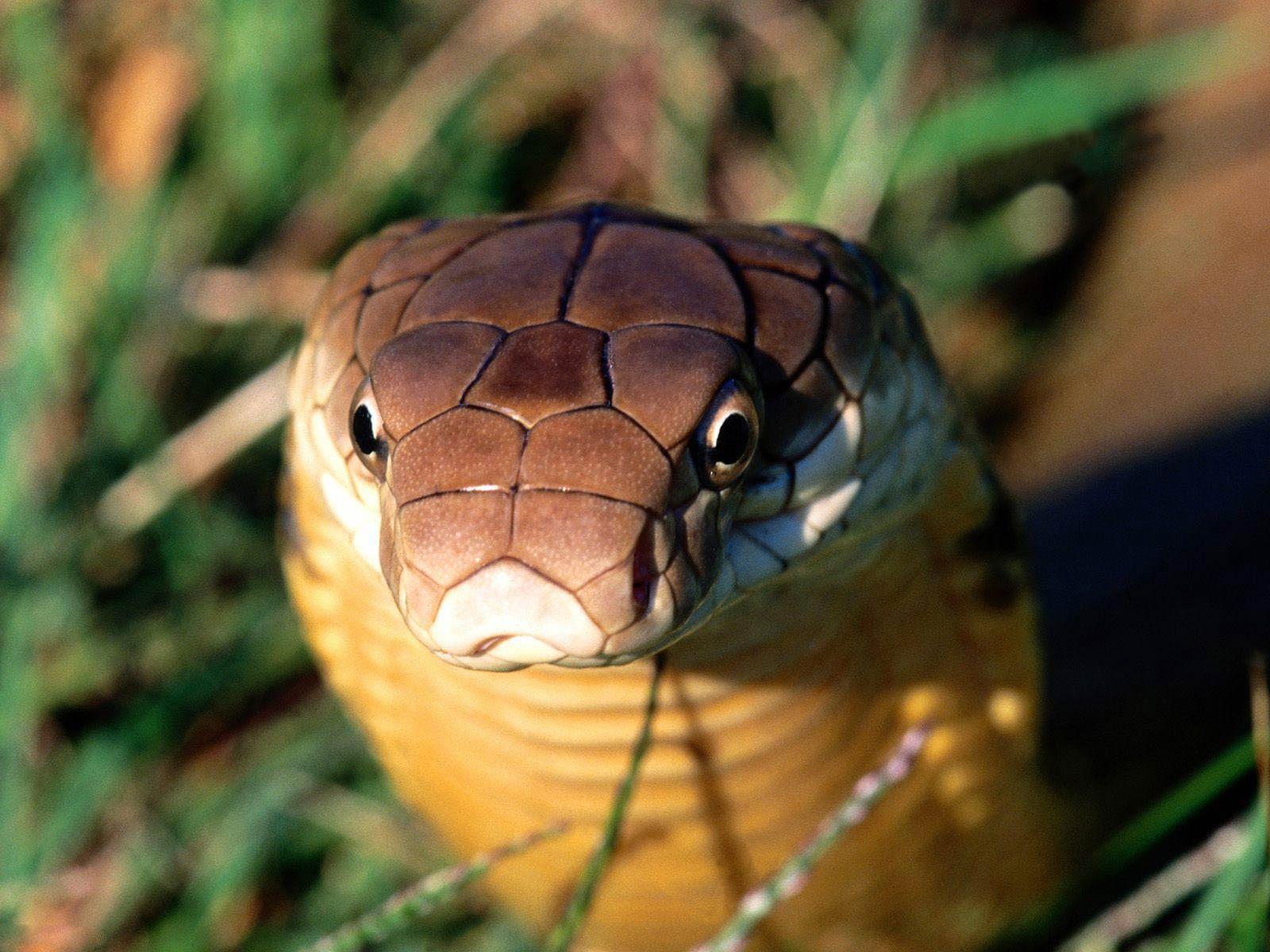 Фото кобра крупным планом 10 фотография