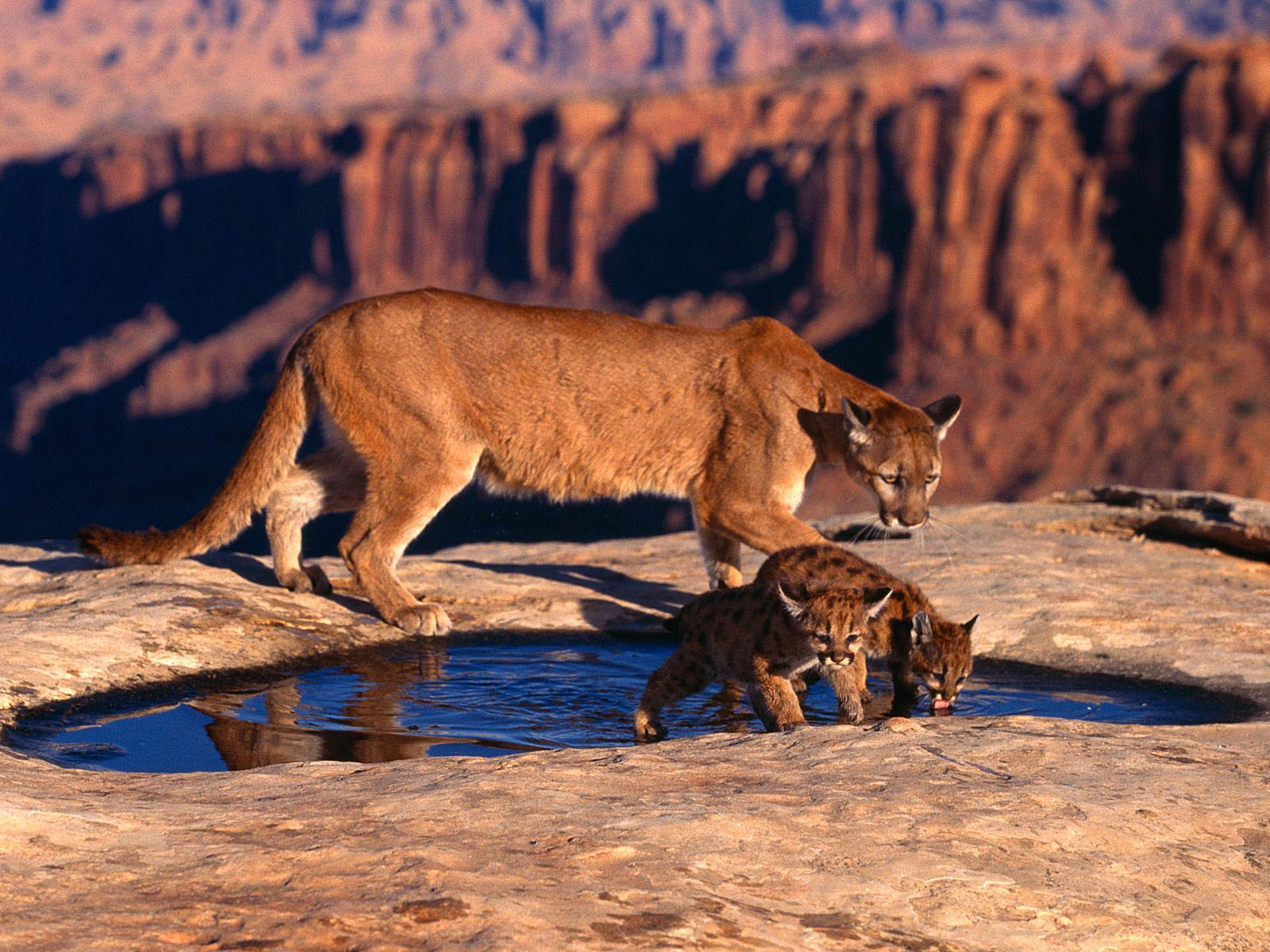 cougar wallpapers - animals town