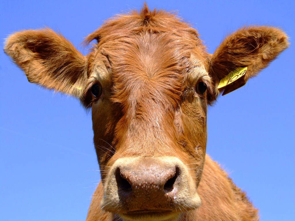 cow wallpaper and background - animals town