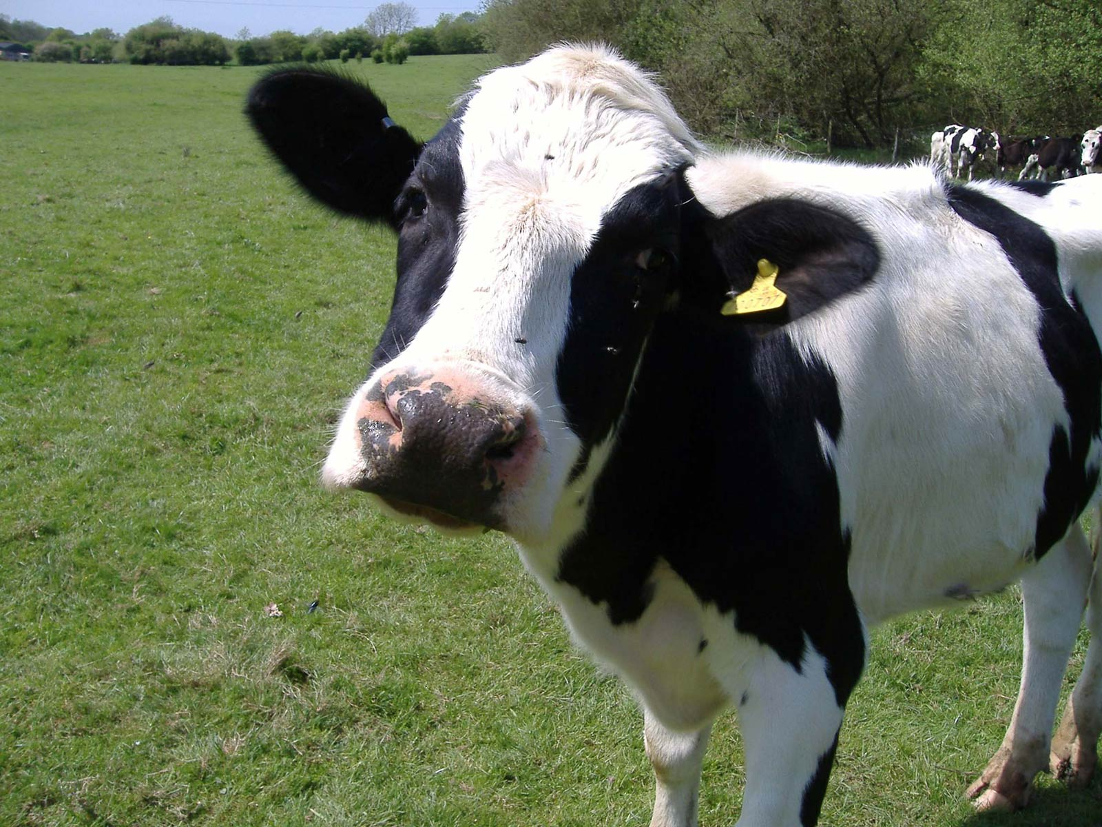 free cow wallpaper - animals town