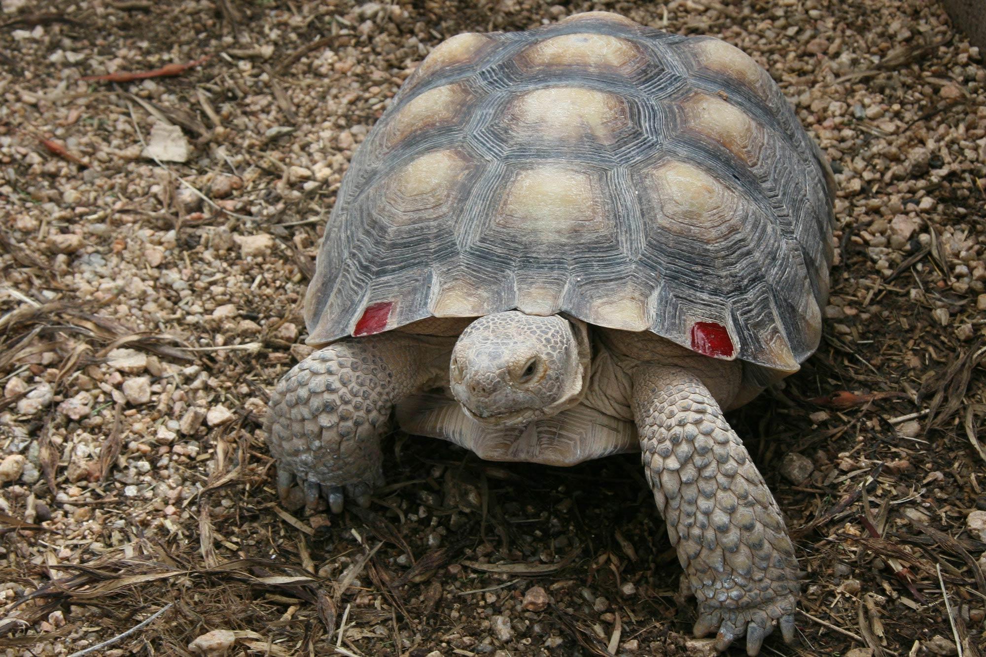 Desert Tortoise Wallpaper Animals Town
