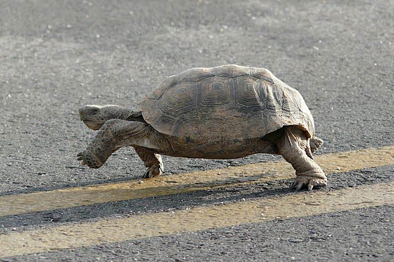 Free Desert Tortoise Wallpaper Animals Town