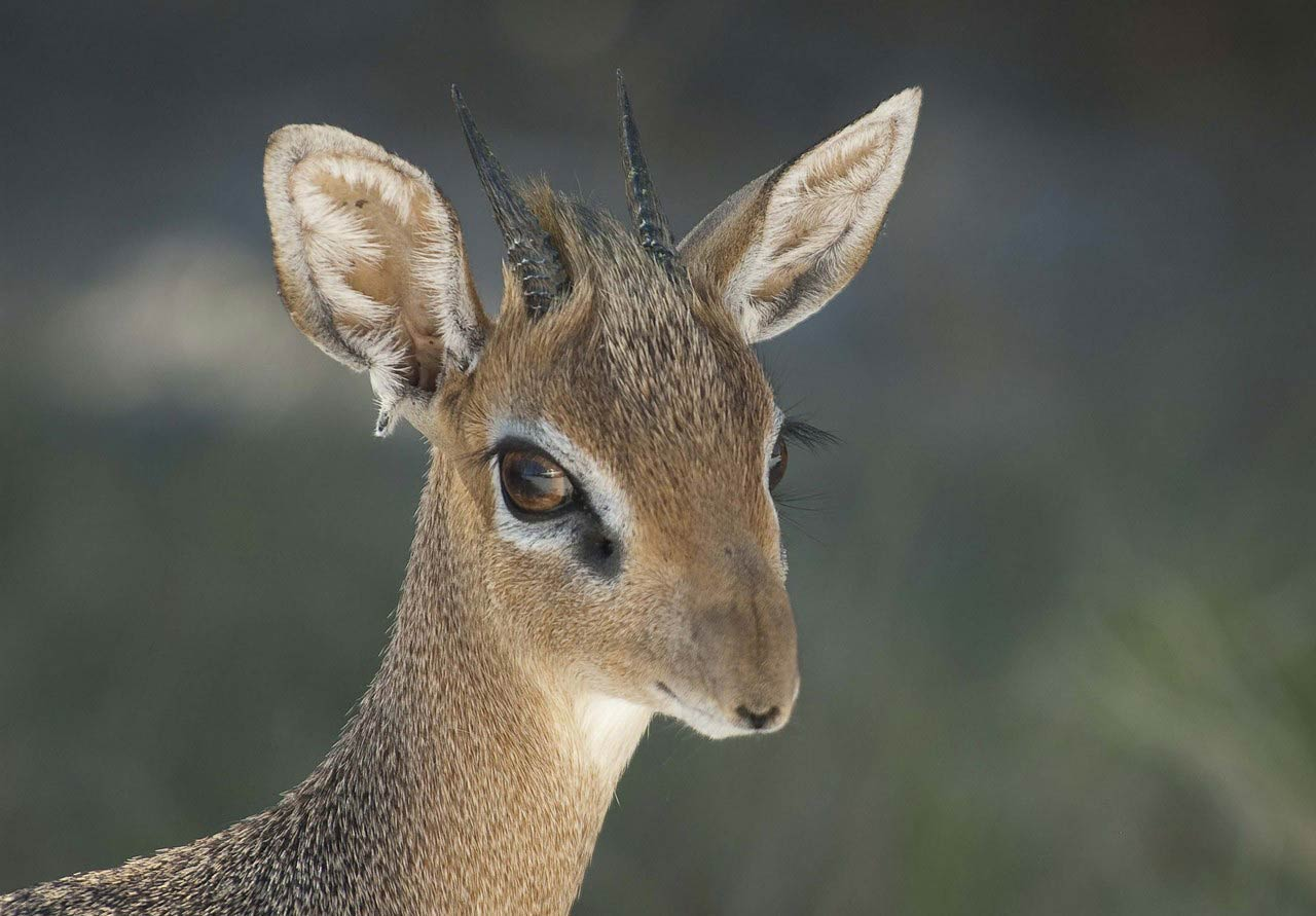 Dik Dik Wallpaper Animals Town