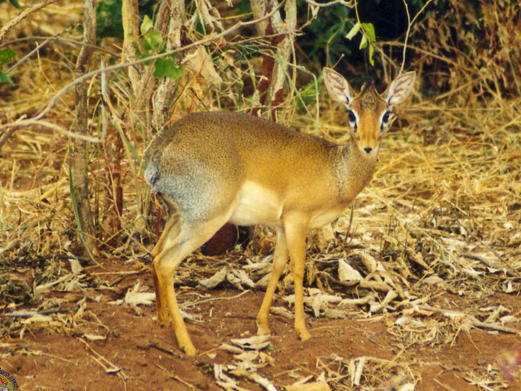 Free Dik-Dik Wallpaper - Animals Town