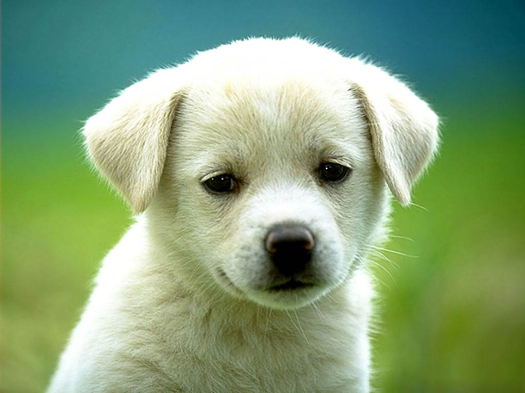 Dog Wallpapers Animals Town