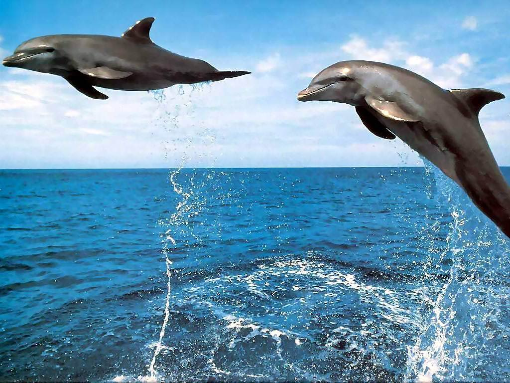 Dolphin Desktop and Mobile Wallpaper Animals Town