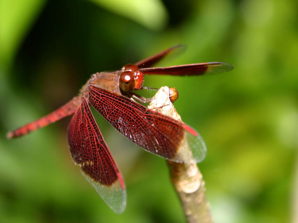 Free Dragonfly Wallpaper download - Animals Town