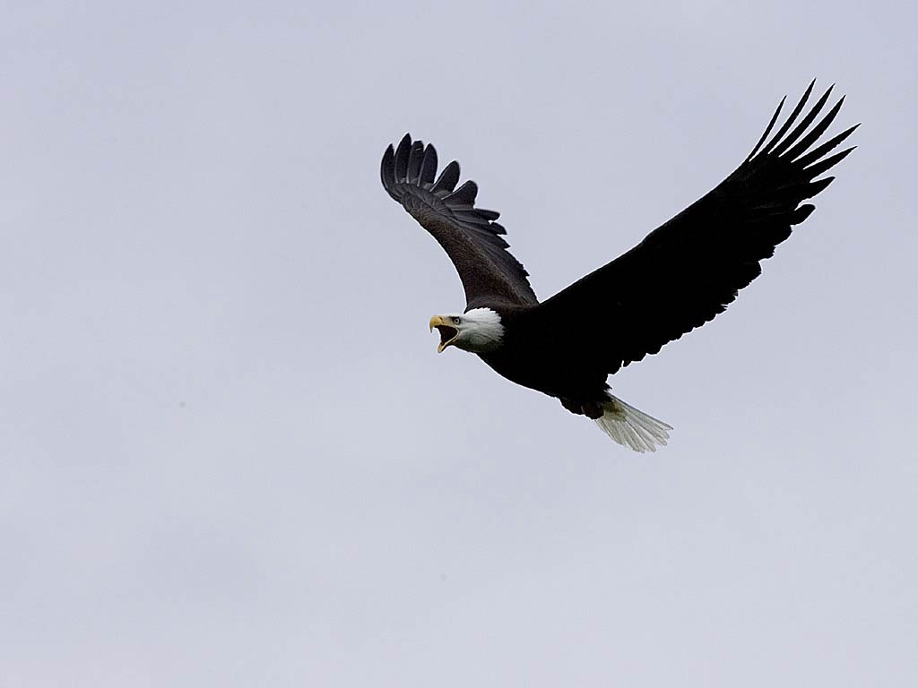 Free Eagle Wallpaper Wallpapers And Background