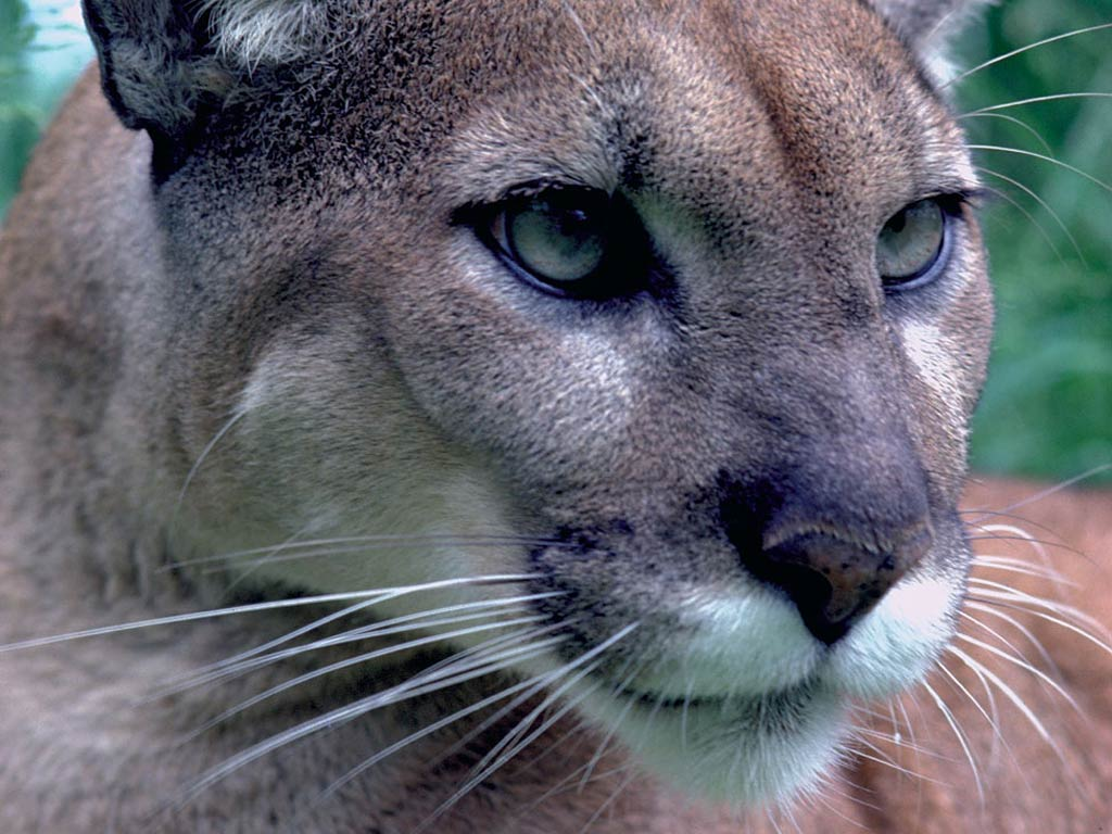 eastern cougar wallpapers - animals town