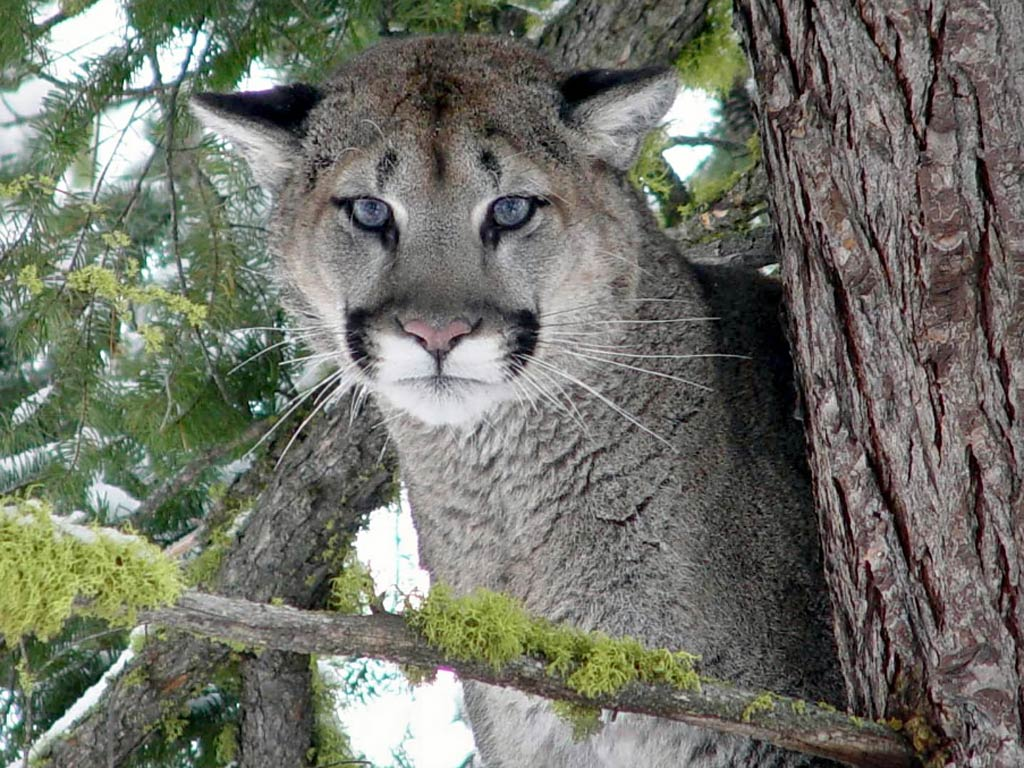 free eastern cougar wallpaper download - animals town