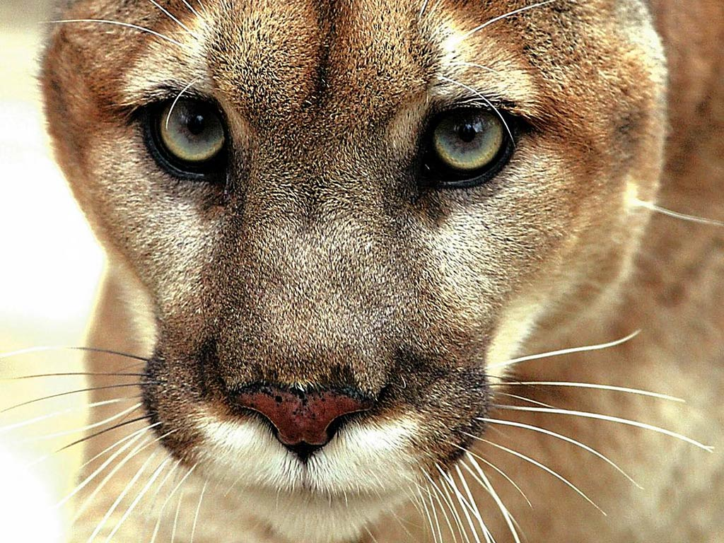 Eastern Cougar Desktop And Mobile Wallpaper Animals Town