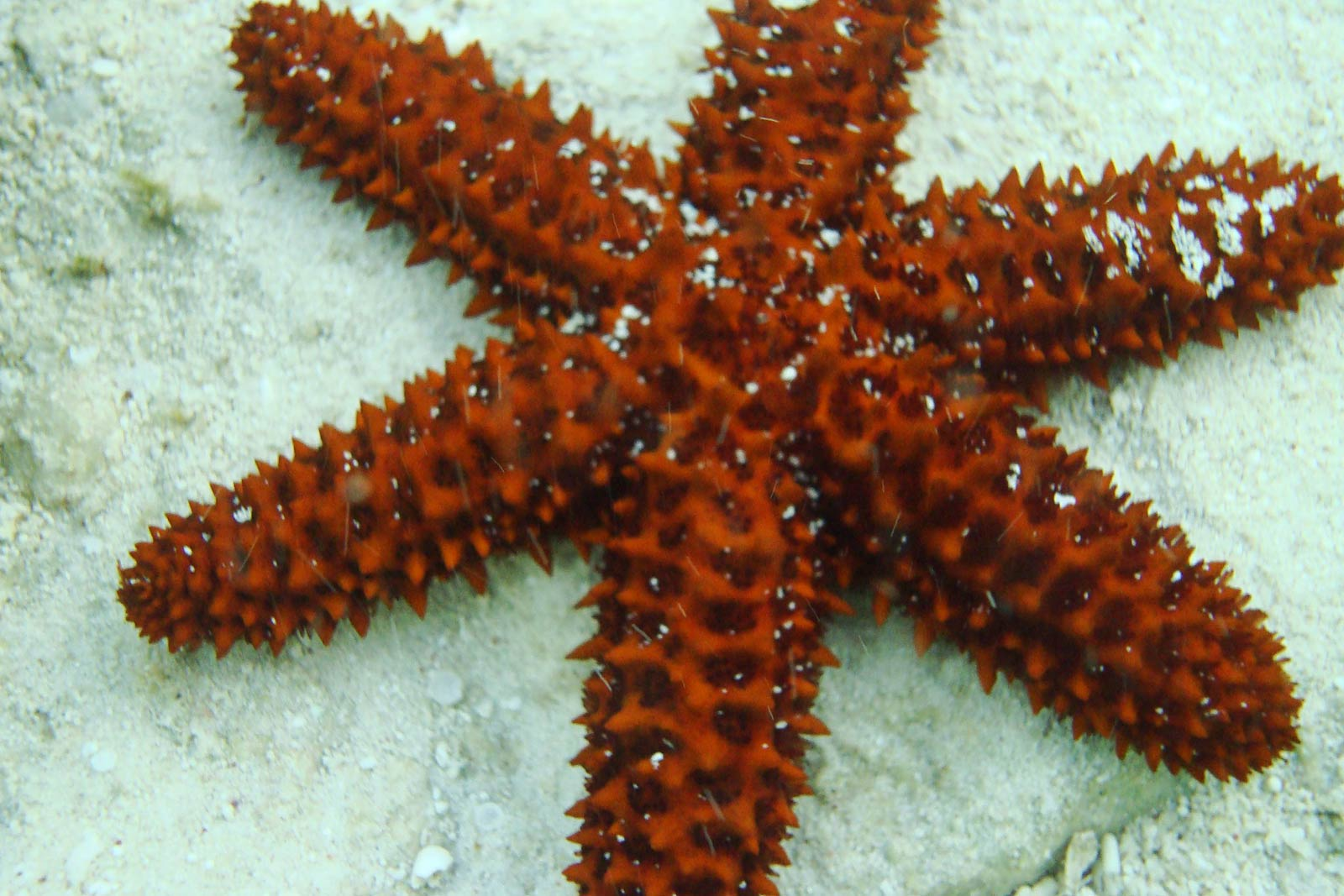 a description of the starfish in marine species Starfish are not fish, but rather marine invertebrates or echinoderms in the class asteroidea therefore, scientists prefer to call them sea stars there are approximately 1,800 different species of asteroidea they are known for their ability to regenerate amputated limbs, and are characterized.