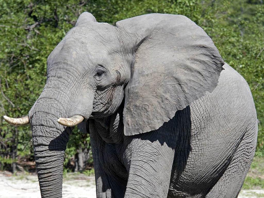 Wallpaper download elephant - Free Elephant Wallpaper Wallpapers Download