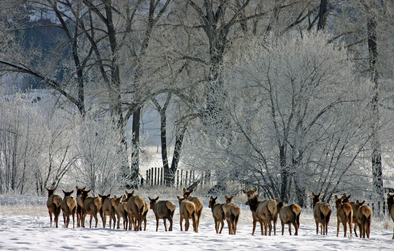 Free Elk Herd Wallpaper Animals Town