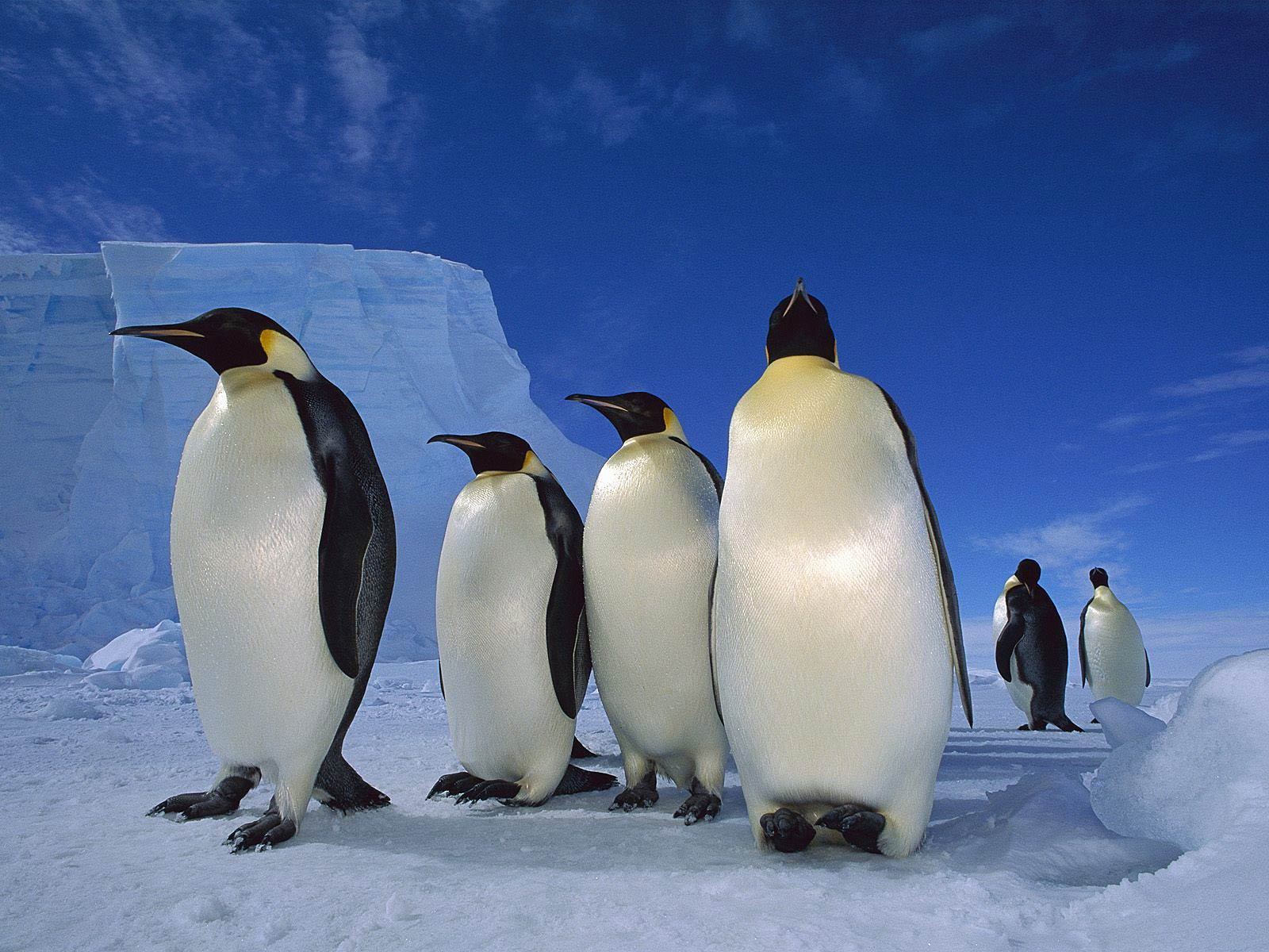 Emperor Penguin Animals Town