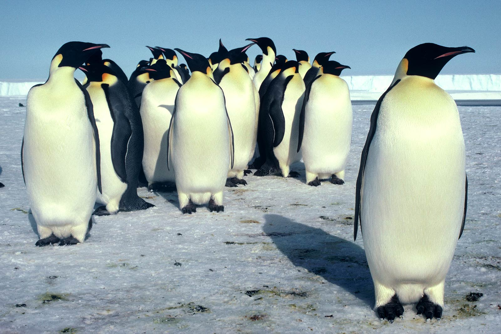 Emperor Penguin Desktop And Mobile Wallpaper  Animals Town